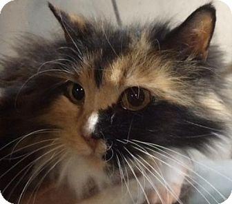 Calico Cat for adoption in Kansas City, Missouri - Abigail