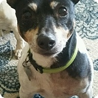 Toy Fox Terrier Dog for adoption in Battleboro, Vermont - Billy