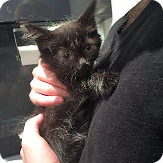 Domestic Longhair Kitten for adoption in Mississauga, Ontario, Ontario - Marius