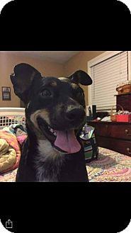 Miniature Pinscher Mix Dog for adoption in Acworth, Georgia - Millie