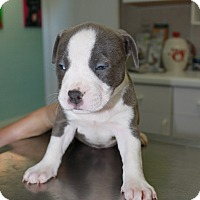 American Staffordshire Terrier/American Pit Bull Terrier Mix Puppy for adoption in Pompano Beach, Florida - A Rose Puppy 8