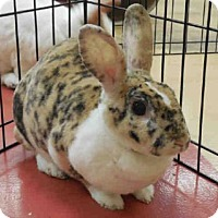 Mini Rex for adoption in Pittsburgh, Pennsylvania - COOKIE DOUGH