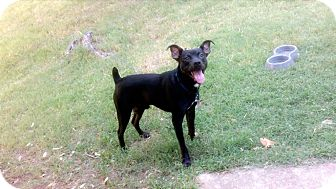Boston Terrier/Chihuahua Mix Dog for adoption in Blanchard, Oklahoma - Lincoln