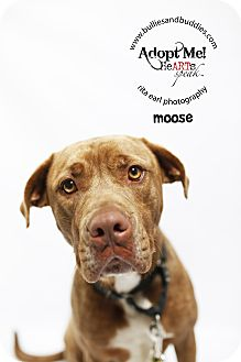 Pit Bull Terrier/Mastiff Mix Dog for adoption in Redondo Beach, California - Moosey Moose!