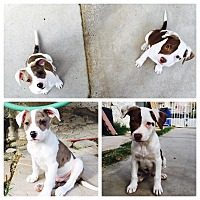 Adopt A Pet :: Kingston - Las Vegas, NV