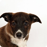 Adopt A Pet :: Heidi Heeler - St. Louis, MO