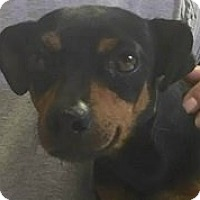 Adopt A Pet :: Sapphire - Springdale, AR