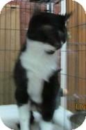 Domestic Mediumhair Cat for adoption in Phoenix, Arizona - Stella