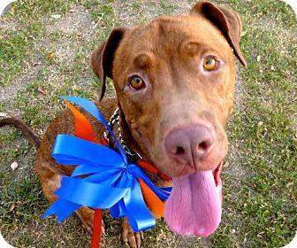 Pit Bull Terrier Mix Dog for adoption in Tucson, Arizona - Bronco