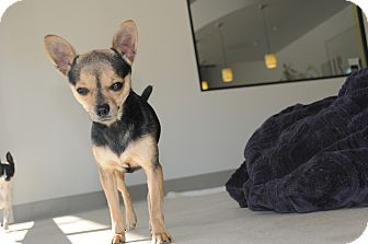 Chihuahua Mix Dog for adoption in Agoura Hills, California - Millie