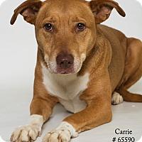 Adopt A Pet :: Carrie - Baton Rouge, LA
