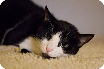 Domestic Shorthair Cat for adoption in Grayslake, Illinois - Moocat