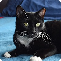 Domestic Shorthair Cat for adoption in New  York City, New York - Dave