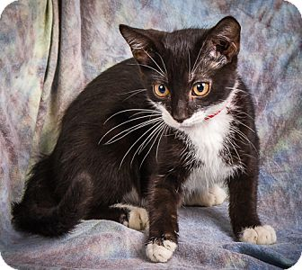 Domestic Shorthair Kitten for adoption in Anna, Illinois - RAVEN