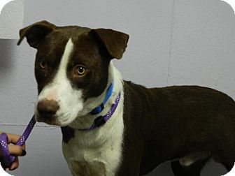 Spaniel (Unknown Type) Mix Dog for adoption in Waverly, Ohio - Deuce