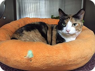 Domestic Shorthair Cat for adoption in Chico, California - Quinn