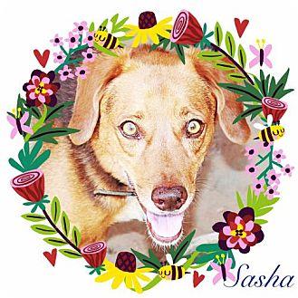 Beagle/Australian Shepherd Mix Dog for adoption in Chandler, Arizona - SASHA - Fun and Friendly!