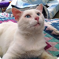 Domestic Shorthair Cat for adoption in Fischer, Texas - Bryant