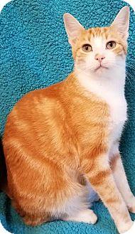 Domestic Shorthair Kitten for adoption in Colfax, Iowa - Finn