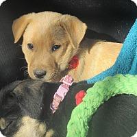 Adopt A Pet :: Golden Christmas Girl - Godley, TX