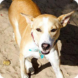 Carolina Dog Mix Dog for adoption in Pensacola, Florida - Chippy