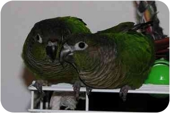 Conure for adoption in Salt Lake City, Utah - Moncho & Bonita