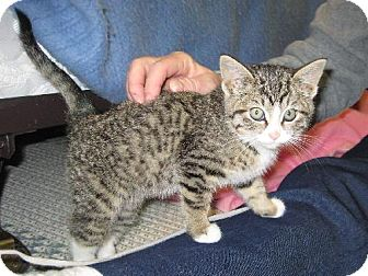 Domestic Shorthair Kitten for adoption in Fort Wayne, Indiana - Noelle
