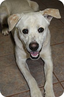 Labrador Retriever Mix Dog for adoption in Stilwell, Oklahoma - Rocky