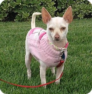 Chihuahua Mix Dog for adoption in Lake Elsinore, California - Giselle