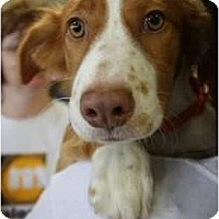 Adopt A Pet :: Shelby - Arlington, TX