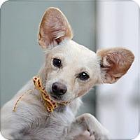 Adopt A Pet :: Lola - Toluca Lake, CA