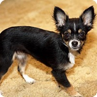 Adopt A Pet :: Sweet Pea - Walnut Creek, CA