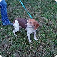 Adopt A Pet :: Apricot - Dumfries, VA