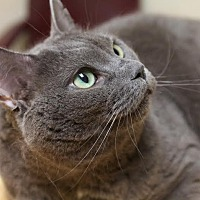 Domestic Shorthair Cat for adoption in Montclair, New Jersey - Simmie
