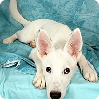 Adopt A Pet :: Winter (Betsy) ShepHeeler - St. Louis, MO