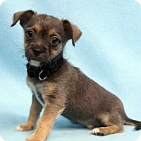 Adopt A Pet :: Tango - Westminster, CO