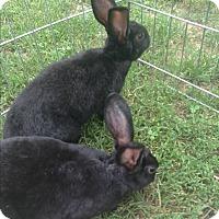 Adopt A Pet :: Pho (fo) - martinsburg, WV