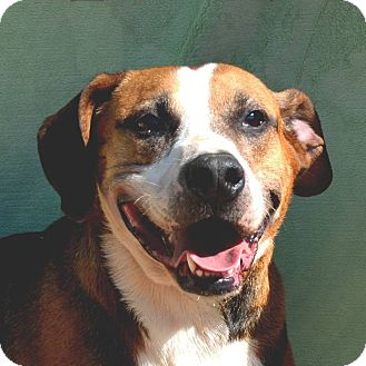 Beagle Mix Dog for adoption in Terre Haute, Indiana - Jeteye