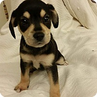 Adopt A Pet :: Bailee - Joliet, IL