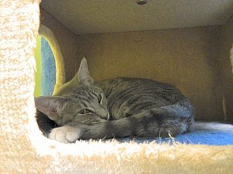 Domestic Shorthair Kitten for adoption in The Colony, Texas - Melvin