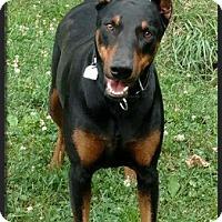 Doberman Pinscher Dog for adoption in Columbus, Ohio - Eliza