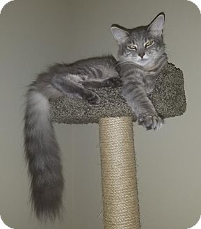 Domestic Longhair Cat for adoption in Great Mills, Maryland - Ripley