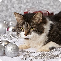 Domestic Longhair Cat for adoption in Harrisonburg, Virginia - Purrcival