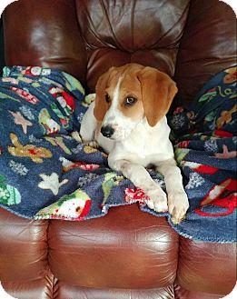 Beagle Mix Puppy for adoption in Hillsboro, Illinois - Molly - ADOPTION PENDING!