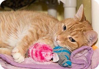 Domestic Shorthair Cat for adoption in Lowell, Massachusetts - Ginger