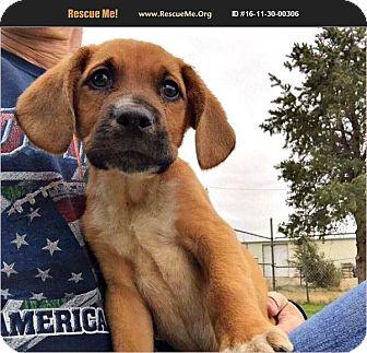 Rhodesian Ridgeback/Beagle Mix Puppy for adoption in Denver, Colorado - Woody