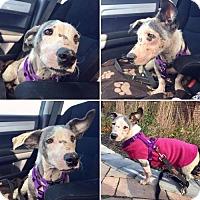 Adopt A Pet :: Vivian - New York, NY
