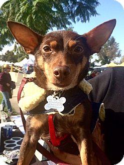 Dachshund/Miniature Pinscher Mix Dog for adoption in Los Angeles, California - Donatella (tella) Fursace