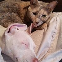 Adopt A Pet :: Amber - Lauderhill, FL