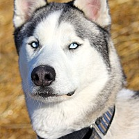 Adopt A Pet :: Kodiak - Sycamore, IL